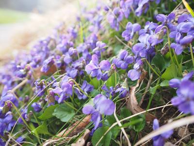 Violette 50g
